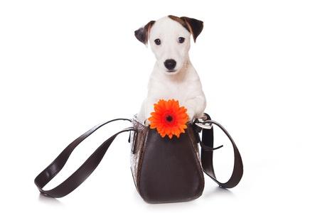 Jack Russell Terrier geïsoleerd op wit
