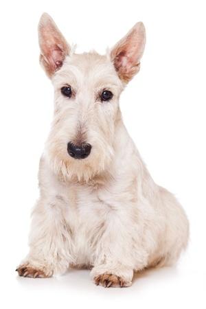 Scottish Terrier op een witte achtergrond