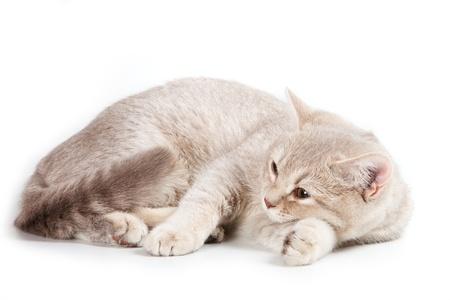 brown pussy: British kitten on white background