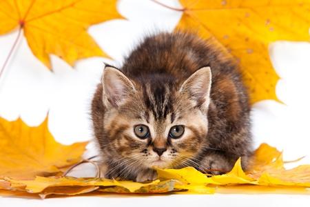 pussy yellow: British kitten on white background