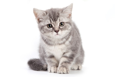 British kitten on white background Stock Photo - 10261986