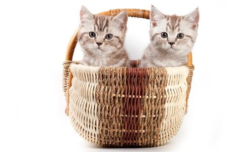 British kitten on white background Stock Photo - 10262154