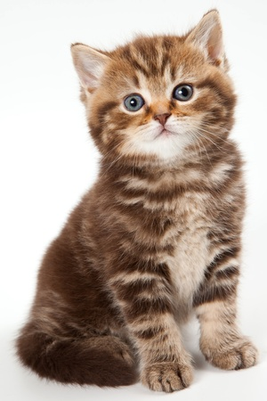 British kitten on white background Stock Photo - 10505114