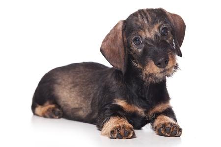 Dachshund puppy on white background