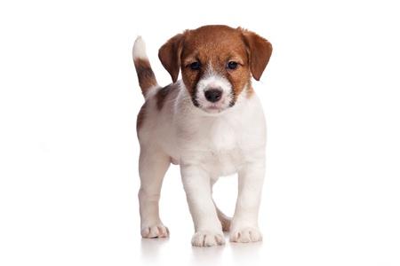 Jack Russell puppy on white Standard-Bild