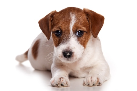 Jack Russell puppy op wit