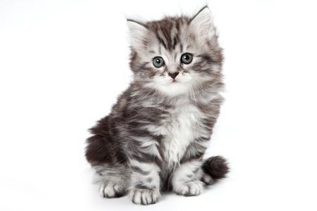 Grijze kitten geïsoleerd op wit