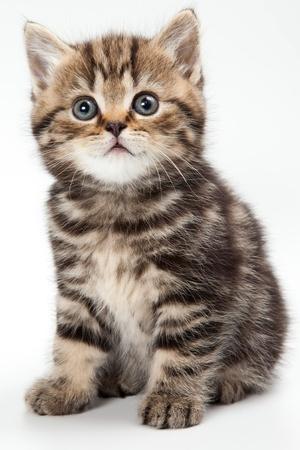 British kitten op witte achtergrond