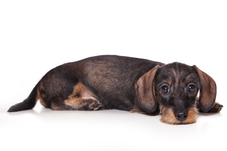 Dachshund puppy on white background photo