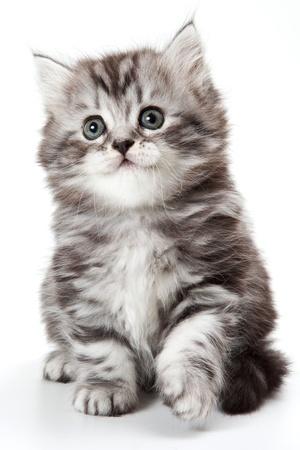 Grey kitten isolated on white Standard-Bild