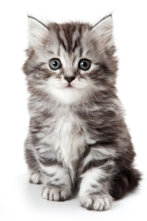 kitten small white: Grey kitten isolated on white Stock Photo
