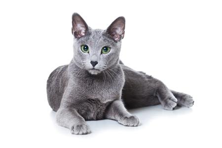 gato gris: Gato azul ruso en blanco Foto de archivo