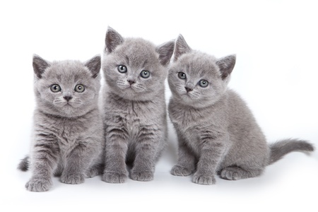 three animals: British kitten on white background