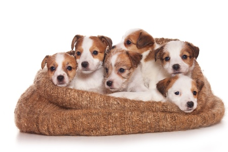 jack russell: Jack Russell Terrier puppy on white Stock Photo