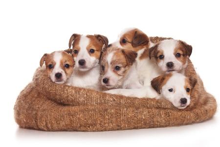 Jack Russell Terrier puppy op wit