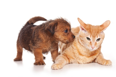 Terrier puppy and sphinx cat photo