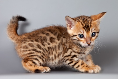 brown pussy: Bengal kitten on grey background