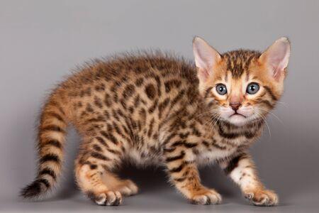 animal pussy: Bengal kitten on grey background