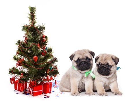Two pugs puppy unader fir Stock Photo