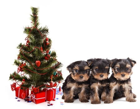 Three yorkshire terrier puppy under fir photo