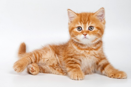 British kitten on white background Stock Photo - 11751076