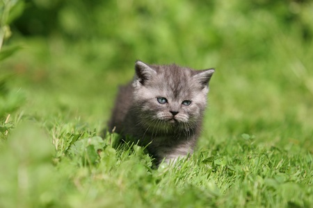 British kitten in green grass photo