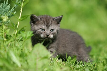 British kitten dans l'herbe verte photo