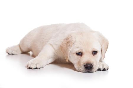 Little Labrador puppy on white background