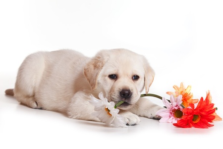 gnaw: Little Labrador puppy on white background