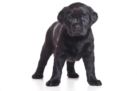Little Labrador puppy on white background photo