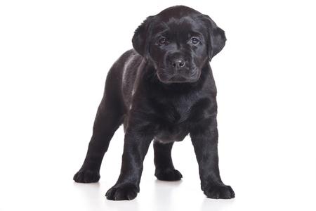 labrador puppy: Little Labrador puppy on white background