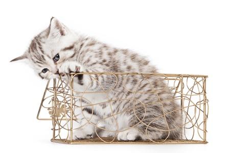 Grey Little Kitten on white background photo