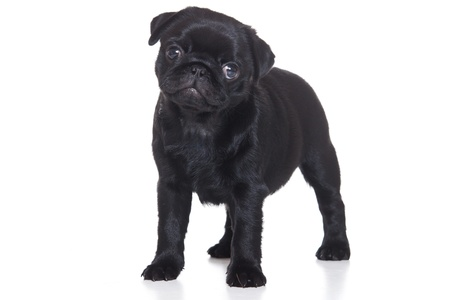 pug puppy: Pug puppy isolated on white background