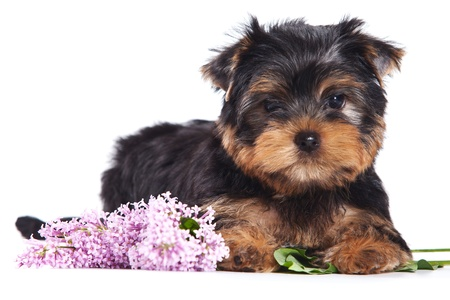 yorkshire terrier: Yorkshire terrier puppy on white