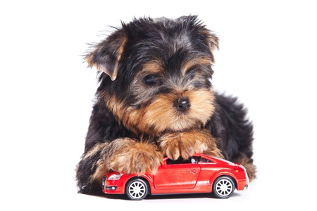 front of car: Yorkshire terrier puppy on white