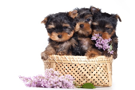 flowers black background: Yorkshire terrier puppy on white