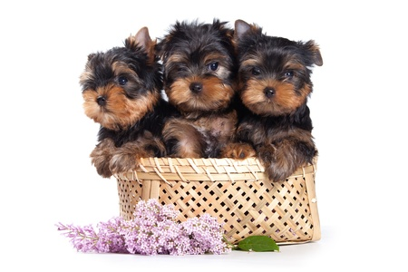 Yorkshire terrier puppy op wit Stockfoto