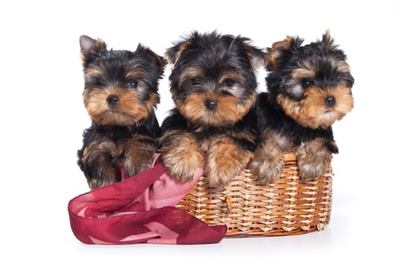 Yorkshire terrier puppy on white photo