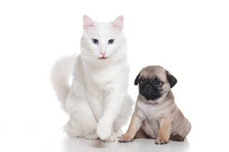Cat with pug puppy on white photo