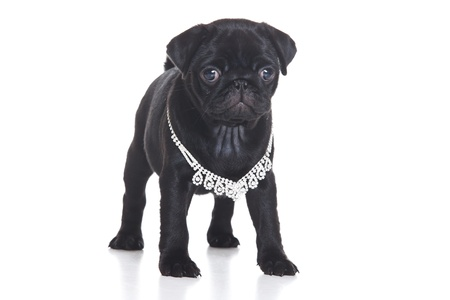 pug dog: Pug puppy isolated on white background
