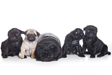 pug puppy: Several pug puppies on white background