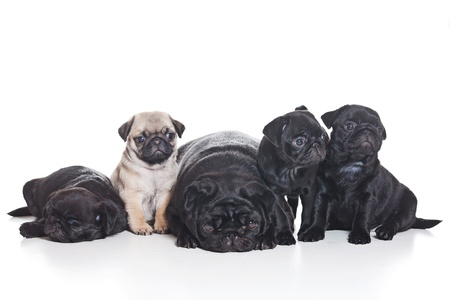 Several pug puppies on white background photo