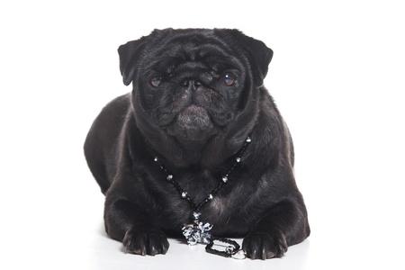 Pug puppy isolated on white background photo