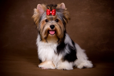 Yorkshire terrier puppy op achtergrond