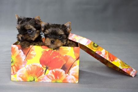 Yorkshire terrier chiot sur fond photo