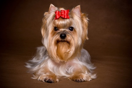 pet grooming: Yorkshire terrier puppy on background