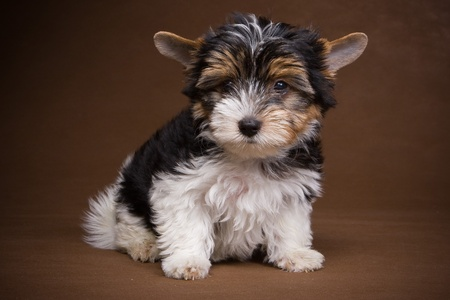 Yorkshire terrier puppy on background Stock Photo - 13311958