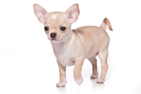 Chihuahua dog on white background photo