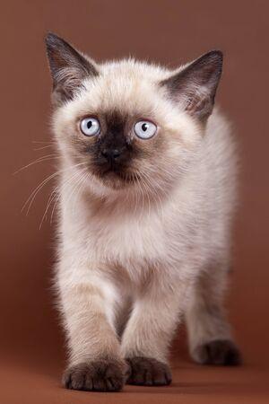 brown pussy: British kitten on brown background