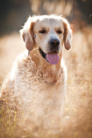 Golden retriever in outdoor settings Stock Photo - 13312090